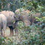 Elephants from Dalma Sanctuary in Jharkhand entered Jadibali forests at Nilgiri in Balasore on Wednesday. Photograph: Odishabytes